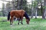 Fototapeta Young horse grazing