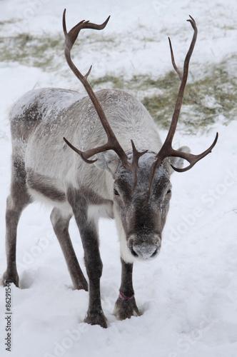Poster reindeer in snow