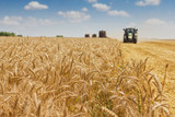 Fototapeta Combine harvester harvesting wheat .