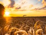 Fototapeta Weizenfeld im Sonnenuntergang