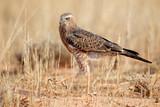 Fototapeta Immature Pale Chanting goshawk (Melierax canorus), Kalahari desert, South Africa