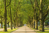 aleja drzew płaskich w świetle porannym