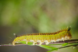 Fototapeta caterpillar