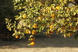 Branch of an Orange Tree full of mellow fruits poster