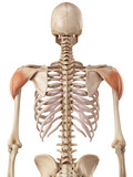 medical accurate illustration of the deltoid poster