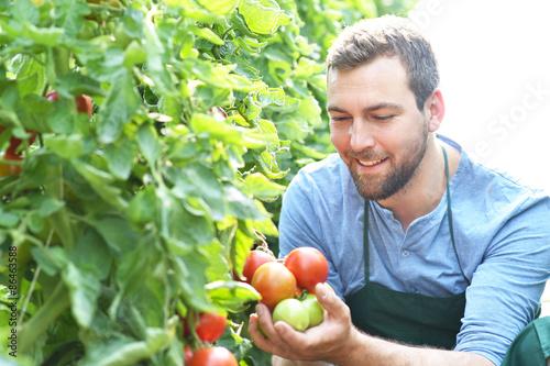 Gärtner in einem Gewächshaus prüft seine Tomatenpflanzen, Anbau von Gemüse in der Landwirtschaft // Farmer in a greenhouse with tomato plants