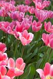 Tulips bloom in the garden