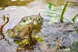 Fotoroleta Bull Frogs At A Frog Farm