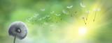 Pusteblume im Garten mit Sonnenstrahlen - 86541718