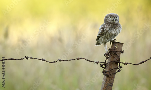 On Guard!, A little owl on a rusty old barbed wire fence
