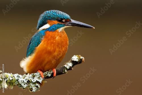 Zdjęcia na płótnie, fototapety na wymiar, obrazy na ścianę : kingfisher