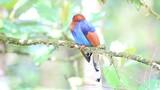 Sri Lanka or Ceylon Blue Magpie (Urocissa ornata) in Sri Lanka poster