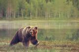 Fototapety Big male bear walking in the bog at sunset