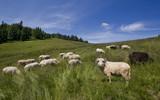Owce w polskich górach