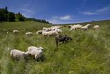 Górski wypas owiec