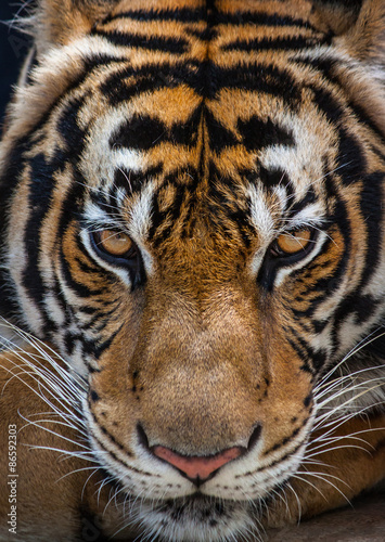 Zdjęcia Tiger