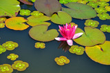 Pink waterlily flower on pond
