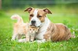 Friendship of american staffordshire terrier dog  with little kitten - Fine Art prints