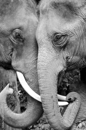 Black and white close-up photo of two elephants being affectionate
