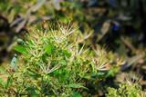 Maerua siamensis (Kurz) Pax, Plant on Thailand.