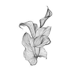 Engraving hand drawn illustration of flower calla