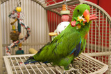 Green Eclectus with a Toy in His Beak