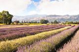 Campo di lavanda vicino ad Assisi