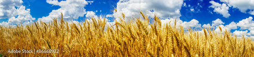 Summer panorama of ripe wheat. - 86660932