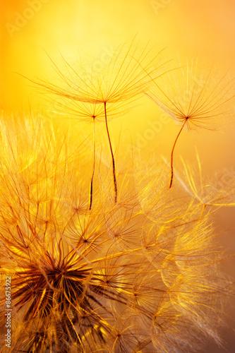 close up of dandelion on golden background
