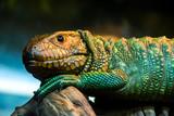 Fotoroleta caiman lizard