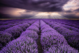 Fototapety Rays over lavender field