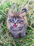 Mewing gray striped kitten poster