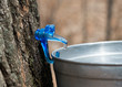 Clear maple sap dripping into bucket. Canadian life. Sap is collected to make maple syrup.