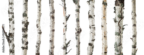 Birch trunks isolated on white background - 86804571