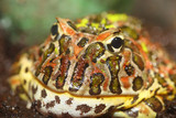 Argentine horned frog (Ceratophrys ornata) poster