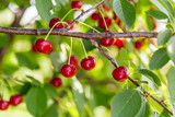 Sour cherries on a tree