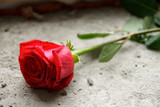Mourning. Red rose on the concrete.