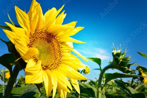 obraz lub plakat Słonecznik i błękitne niebo