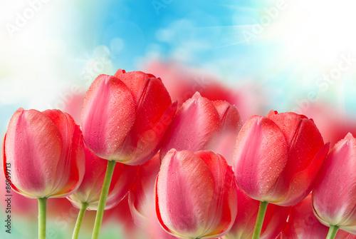 Fototapeta tulip flowers