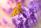 Fototapety Lavender blossoms with butterfly