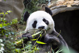 Giant panda Ailuropoda melanoleuca eating the bamboo zoo Singapore