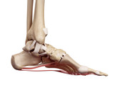 medical accurate illustration of the plantar aponeurosis ligament poster