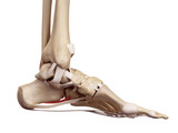 medical accurate illustration of the short plantar ligament poster