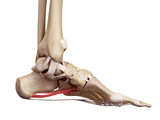 medical accurate illustration of the long plantar ligament poster