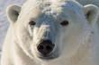 polar bear golden portrait