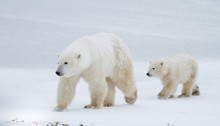 Polar bear mom and cub walking on the ice