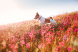 Fototapety Dog in flowers Jack Russell Terrier