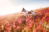 Fototapety Dog in flowers Jack Russell Terrier