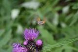insetto insetti volatile colibri nettare polline poster