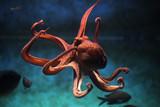 Fototapety Common octopus (Octopus vulgaris).